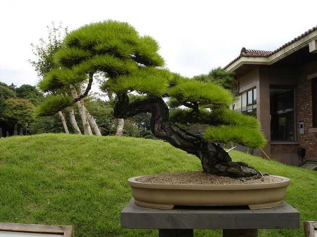 Pine Bonsai   http://www.flickr.com/photos/stonesculpture/4477245893/