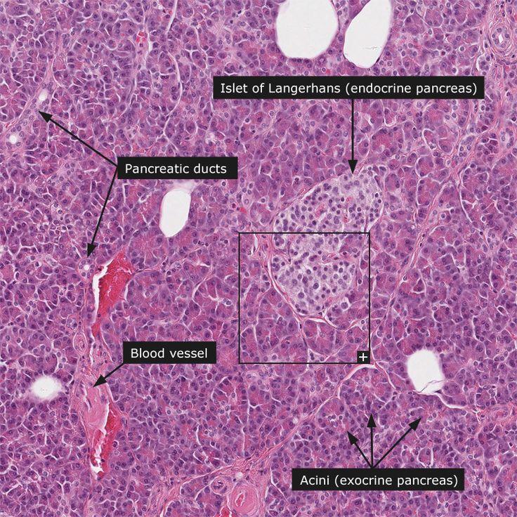 Normal: Pancreas
