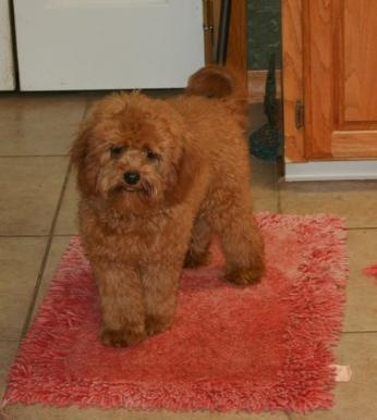 Cavapoo Puppies for sale from Petit Jean Puppies in Arkansas