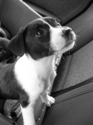 Jack Russell-Border Collie mix.
