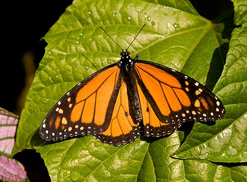 what is a rainforest butterfly | Butterflies at the Butterfly Rainforest in Gainesville, FL