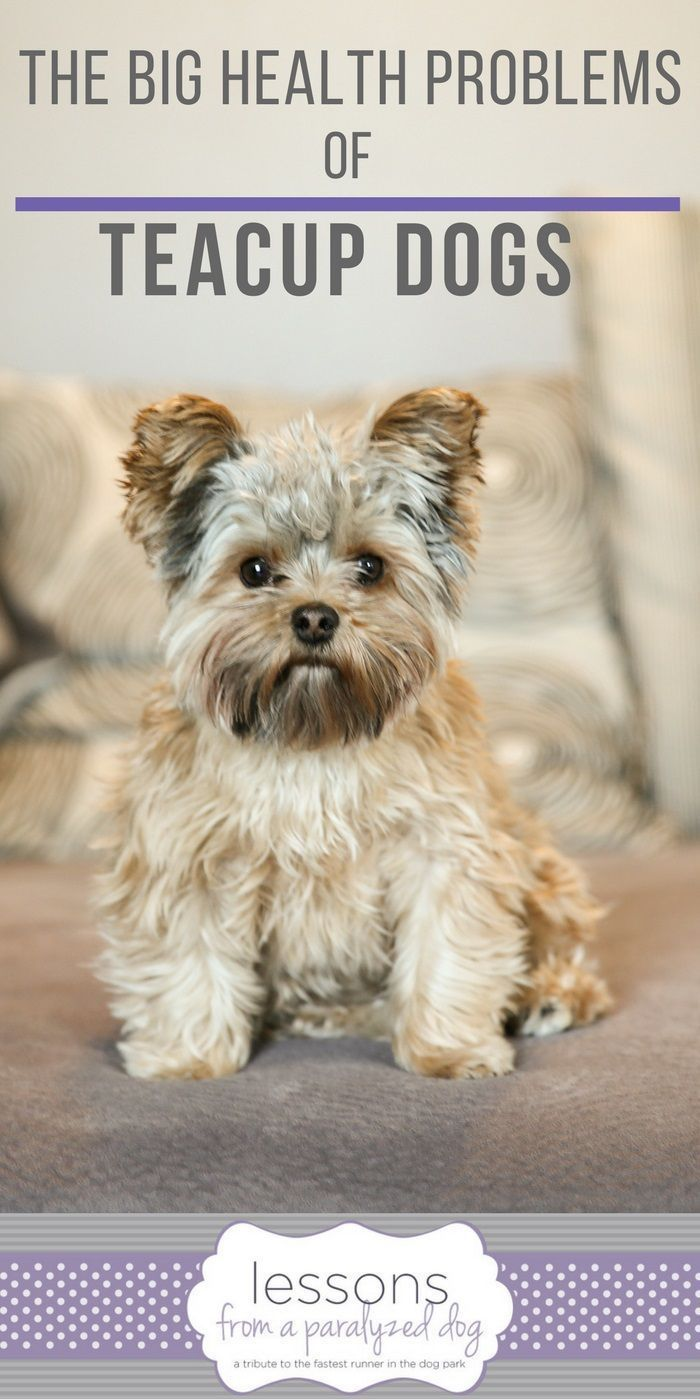 Do You Know The Big Health Problems Of Tiny Teacup Dogs