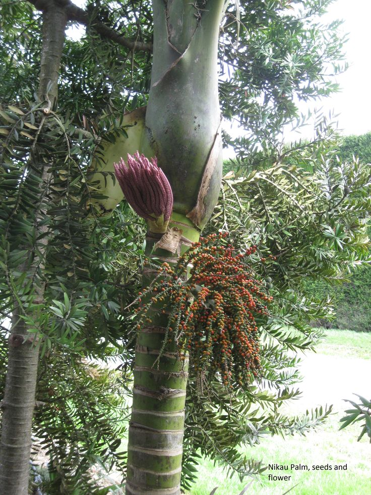 Flowering Nikau Palm