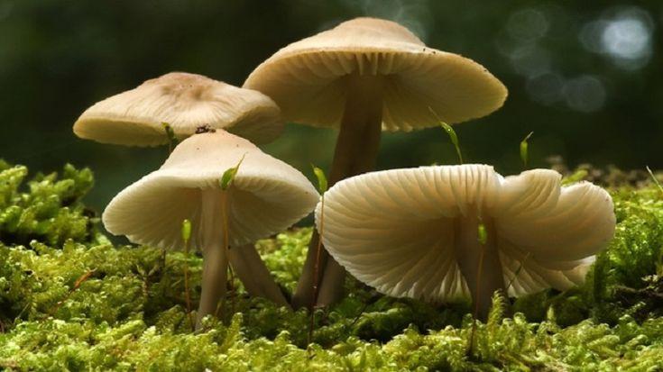 M s de 25 ideas incre bles sobre hongos alucinogenos en pinterest lsd cido psychedelic gif y - Wild mushrooms business ideas ...