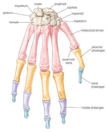 Sesamoid Bone Hand - Health, Medicine and Anatomy Reference Pictures