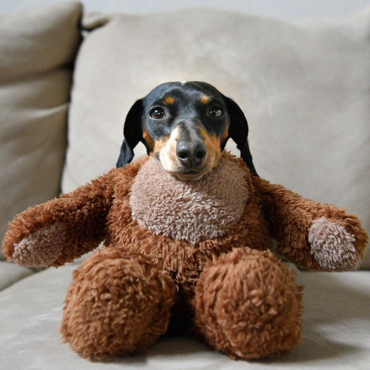 I Love Dachshunds 4847 best images about...