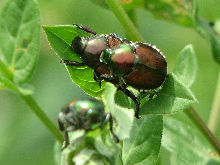 Acasalamento entre besouros japoneses, o Popillia japonica.  Fotografia: D. Gordon e E. Robertson.
