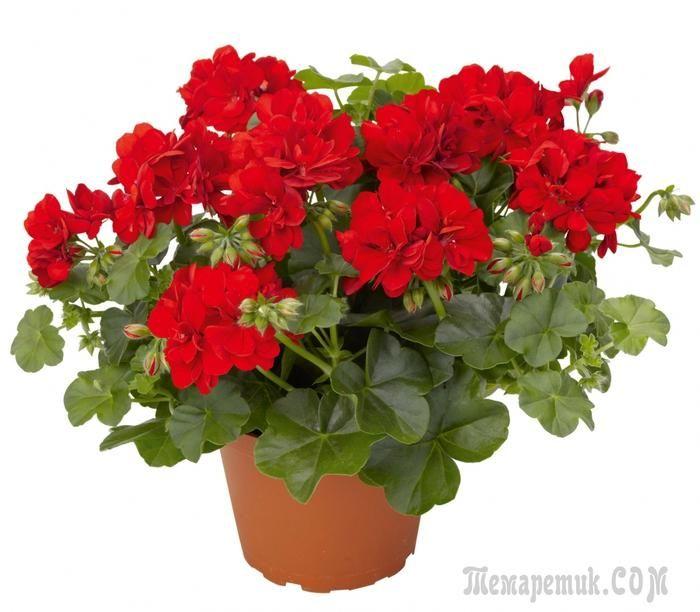 Герань (пералгония) – широко распространенное комнатное растение с яркими цветами. Вырастить герань можно и из семян, но я предпочитаю черенкование, которое проводится с середины февраля до начала мар...