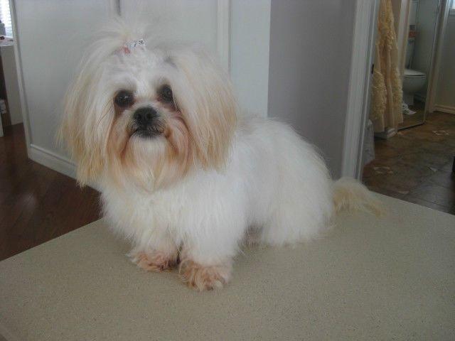 SHIH TZU   chiens, chiots à vendre   Gaspésie   Kijiji