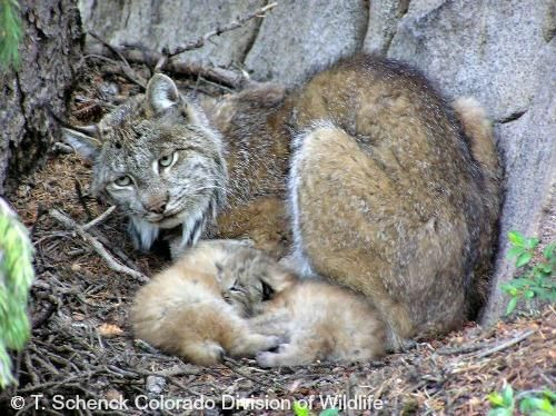 Canada Lynx live mainly in boreal forests or in mixed deciduous/boreal woodlands, but can live in farmlands if they are interspersed with wooded areas. They favor forests with dense undercover vegetation.