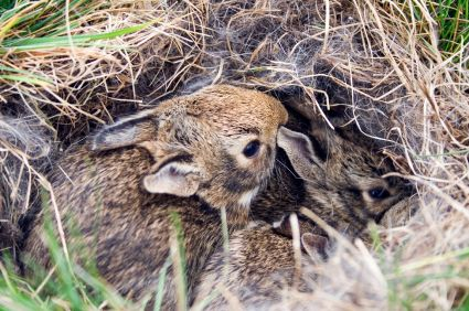 If you've found a nest of wild baby rabbits, your first instinct might be to rescue them. But the best action you can take is to leave the rabbits alone.