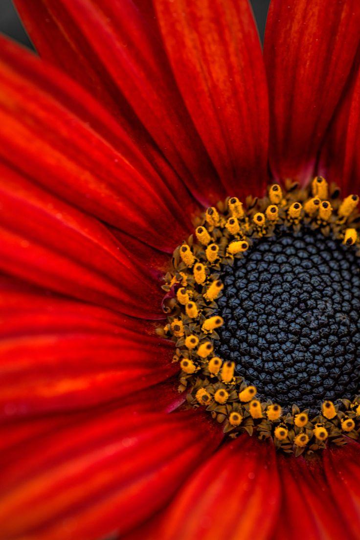 ~~Red African Daisy macro by Wayne Grazio~~