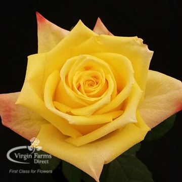 8 best yellow roses images on pinterest yellow roses farms and mohana is yellow and has slightly red tipped petals mightylinksfo