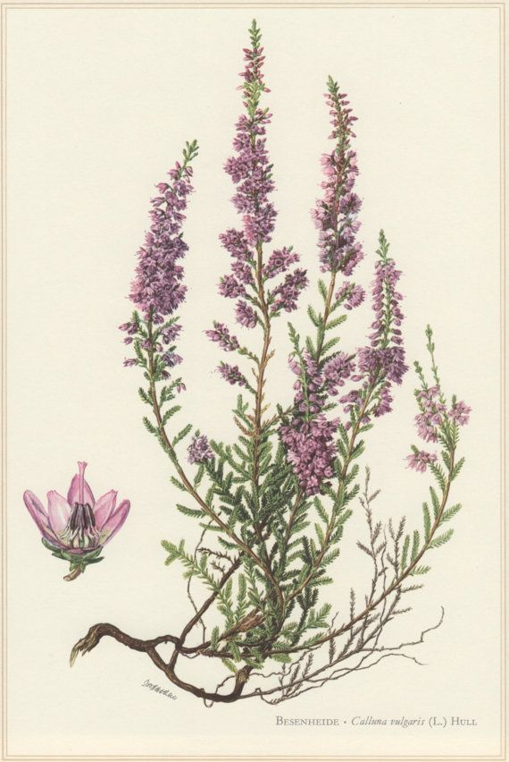 1960 Botanical Print Calluna vulgaris Heather by Craftissimo