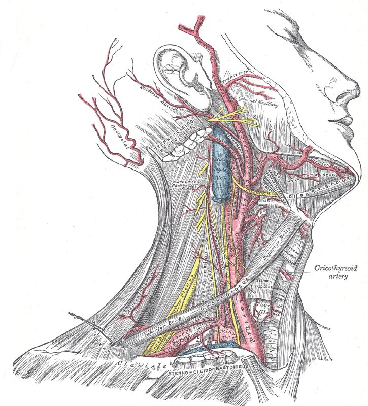 anatomy of body   Superficial dissection of the right side of the neck, showing the ...
