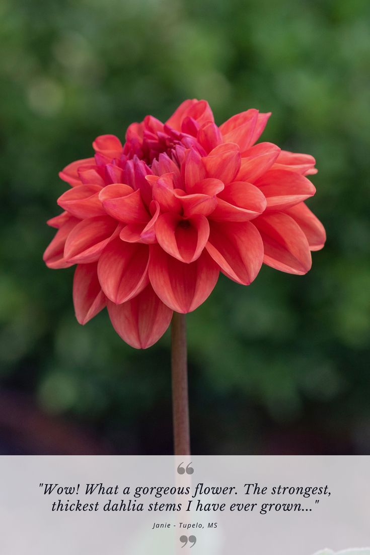 Pin On Dahlia Summer Bulb