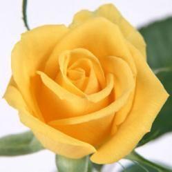 Las rosas amarillas: Suele ser la rosa ideal para regalar a un adolescente. Para los más supersticiosos, este color trae consigo una advertencia. Si la persona que las regala no es muy cercana, puede tener una segunda intención tras su sonrisa. Sin embargo, para la gente escéptica, las rosas amarillas significan satisfacción y alegría y son una buena forma de festejar entre amigos un cumpleaños o un día significativo.
