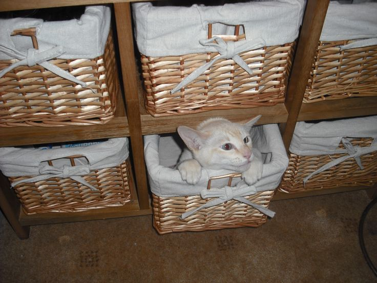 Mike boxed in #tonkinese #cats