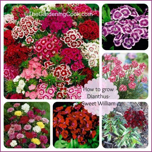 How To Grow Sweet William - Dianthus Barbadus  http://thegardeningcook.com/dianthus-barbatus/