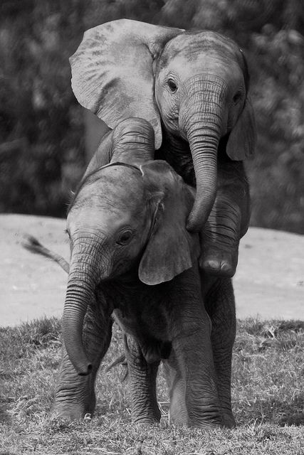 * Kinder *    [Photo by ~caprimulgiformes~ (Dona Tracy)  August 6 2010]   – Elephants
