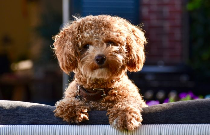 The Ultimate Info About Poochon Dog Which Includes Poochon