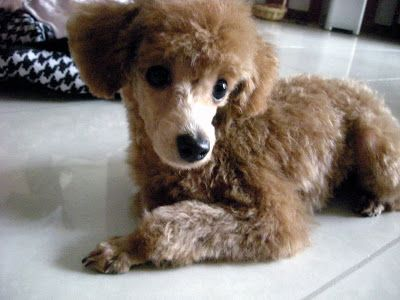 male toy poodle. As you can see we chose Buddy. (He is 5 years old ...