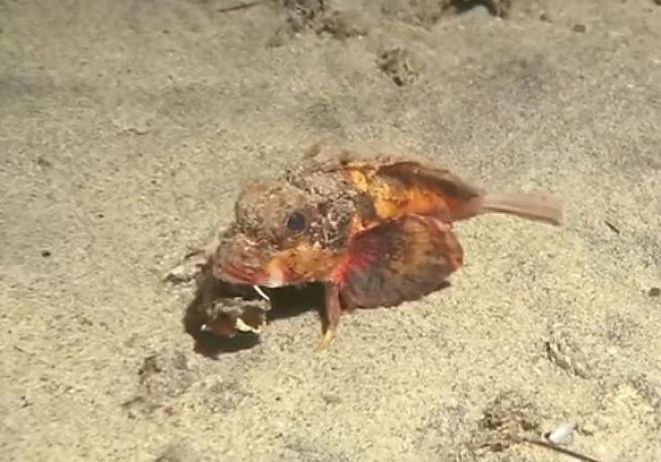 """Ученых удивила рыба, """"гуляющая"""" по дну океана (Видео). Французский дайвер Эмерик Бенхалассаобнаружилуберегов Бали (Индонезия) рыбу, которая впрямом смысле гуляла подну океана. Ученые пока несмогли точно определить точное название этого вида. https://fish.team/news/1358-uchenykh-udivila-ryba-gulyayushchaya-po-dnu-okeana-video"""