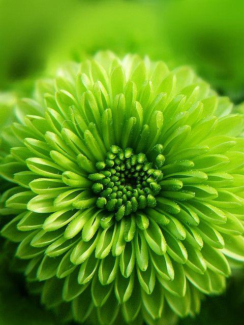 Les 25 meilleures id es de la cat gorie chrysanth mes sur for Plante verte japonaise