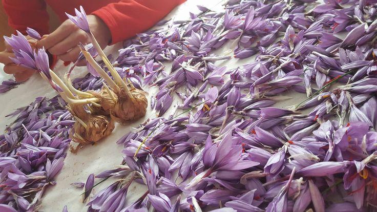 Time for opening the flowers! Il momento della sfioratura per prendere solo i 3 stimmi rossi! #Abruzzo #travel #italy #zafferano #saffron #abruzzosegreto #navelli