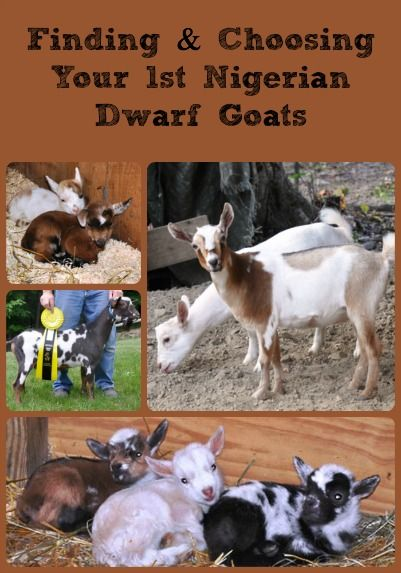 Finding & Choosing Your 1st Nigerian Dwarf goats can be an intimidating task, but here are a few suggestions on how to make it easier