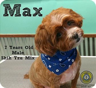 Shih Tzu/Poodle (Miniature) Mix Dog for adoption in Nicholasville, Kentucky - Max