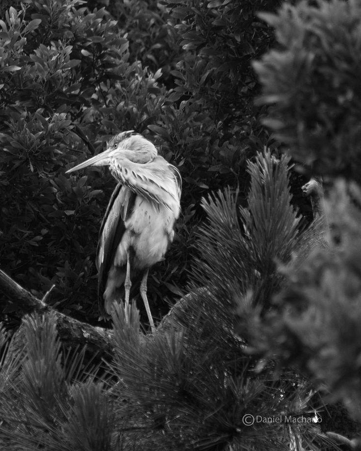 Garça-real  Grey heron  #2016 #may #maio #birdphotography #natureshots #shooters_pt #viewbugfeature #nikonphotography #nikon #nikond750 #nikonpt #topphoto #p3top #portugal #igers #igersportugal #igersporto #nikonphotography #nikon #garçareal #greyheron #reservanaturalestuariodouro #birdsofportugal #pt_bnw_captions #bw #portugal #bestbirdshots #bestnatureshot #
