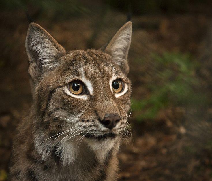 Bakgrund och intervjuer om årets licensjakt på 79 lodjur | Natursidan
