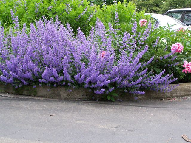 Nepeta Walkers Low (not actually low)
