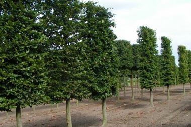 Fagus sylvatica  Die klassische Buchenhecke ist auch als Spalierbaumhecke sehr attraktiv. Diese Spalierbaum hat eine Höhe bis ungefähr drei Meter, deren höchste 120 cm die eigentliche Spalierform bilden
