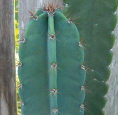 Cactus cereus #piantegrasse #cactacee