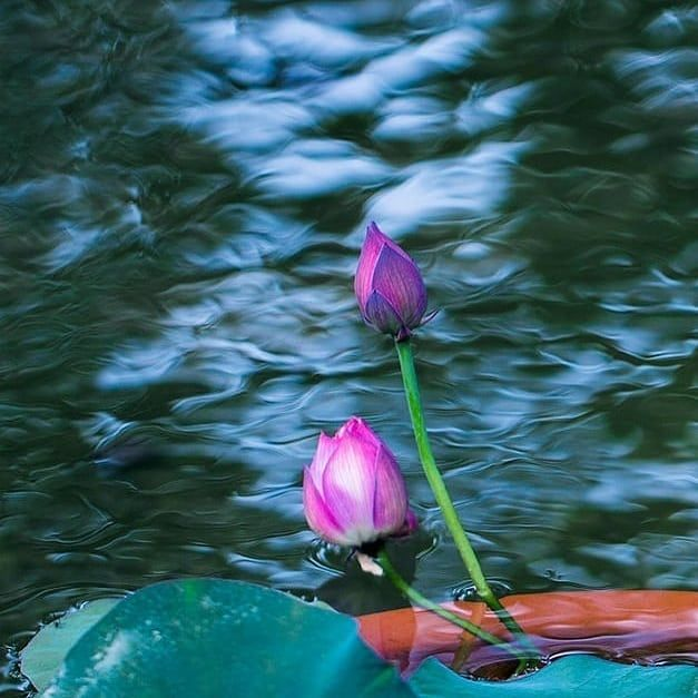Lotus Flower is a Flower of Luck. To attract abundance of ...