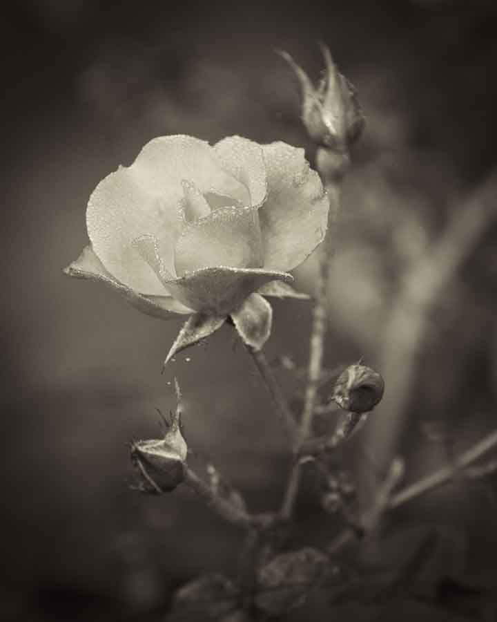 A rose by any other name. Image©K Woodland/K Woodland Photography.