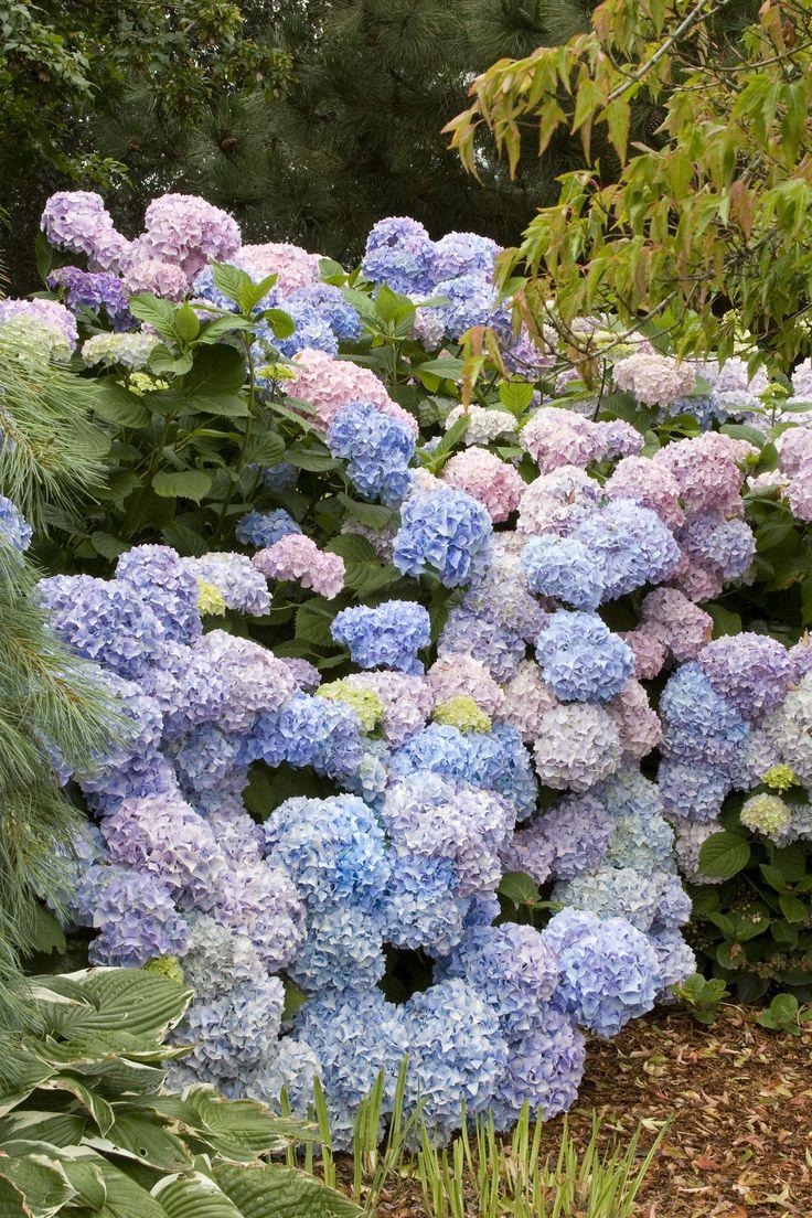 Die besten 25 Nikko blue hydrangea Ideen auf Pinterest