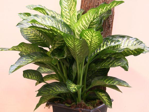 5 plantas purificadoras para el hogar: Crisantemos. Planta de bambú. Gerbera. Drácena.Cintas.