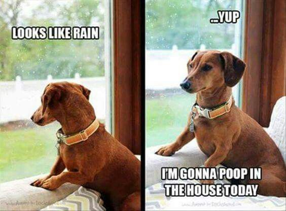 Image result for dachshunds peeing in the house