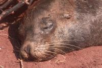 JSPuzzles - Play free Jigsaw puzzles online - Sleeping Seal