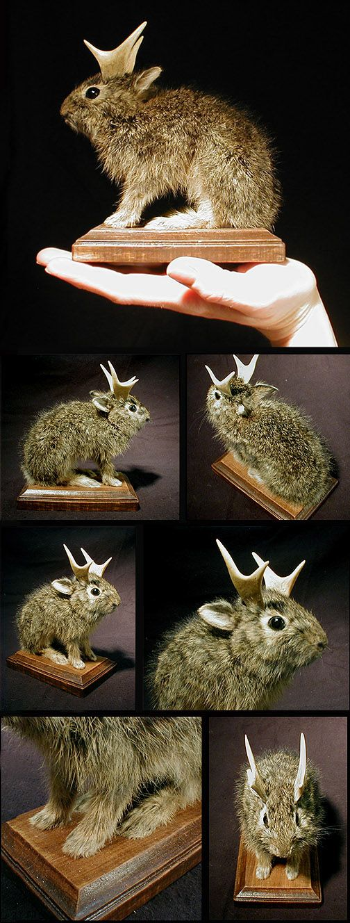 Sarina Brewer's taxidermy I knew those things were real: The Jackelope!