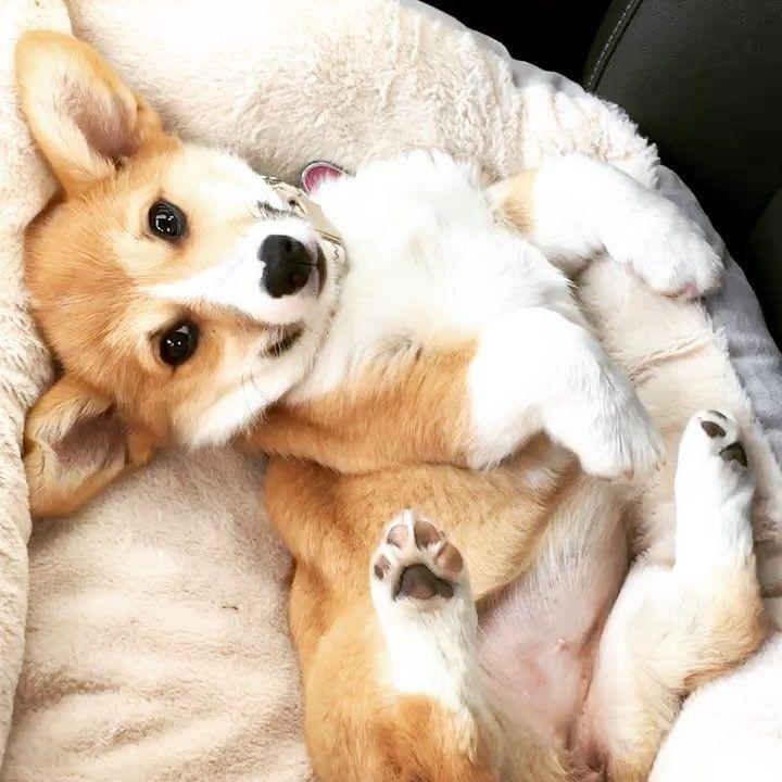 "185 Likes, 2 Comments - Kiwi (@la_corgi) on Instagram: ""Mom is really missing puppy Kiwi"""