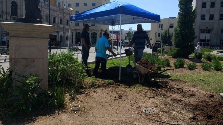 Chihuahua, Chih.- Está mañana se están realizando los trabajos para la plantación de nuevos árboles de encino en la Plaza de Armas