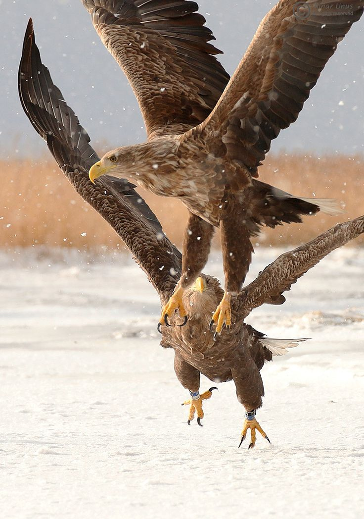 White Tailed Eagle Chase