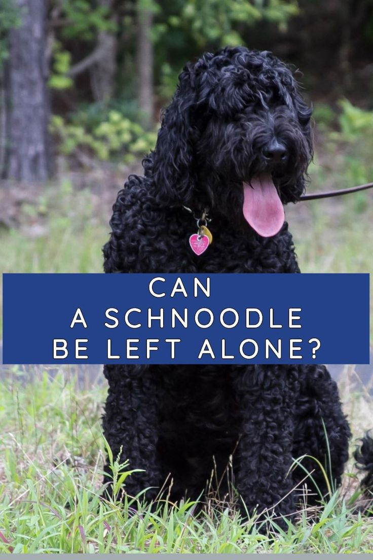Can a schnoodle be left alone in 2020 schnoodle left