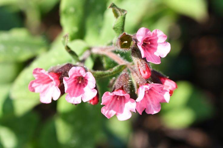 ANNES HAGEVERDEN: Pulmonaria saccharata Flekklungeurt