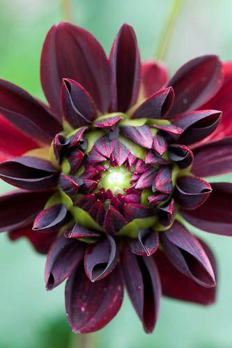 269 best images about dahlia 39 s on pinterest gardens. Black Bedroom Furniture Sets. Home Design Ideas