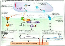 Вегетативная нервная система — SportWiki энциклопедия